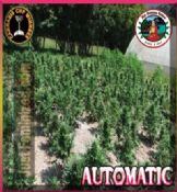 Big Buddha auto-flowering female skunk seeds buy online